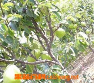 果蔬百科北方木瓜